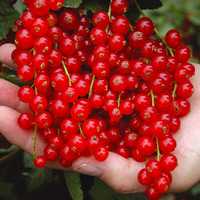 Currant_rovada_red